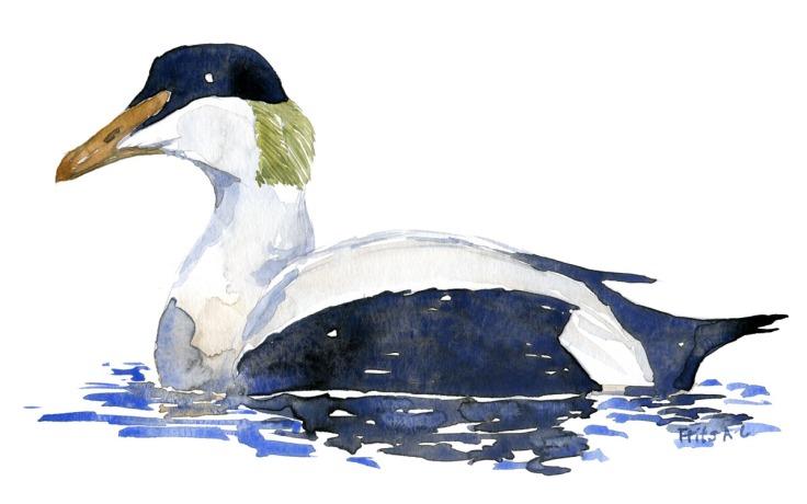 Watercolor of Eider duck